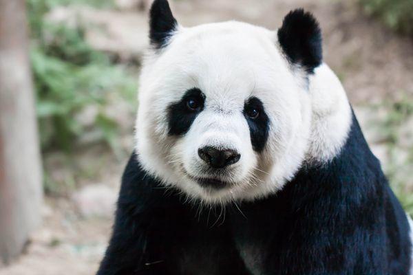 パンダの写真